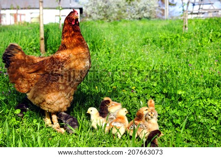 Hen with chickens on the green grass - stock photo