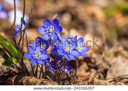 Hepatica flowers that blooming in early spring - stock photo