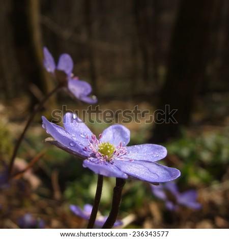 Hepatica nobilis -  Anemone hepatica - stock photo