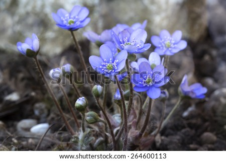 Hepatica nobilis flower, closeup shot taken outside - stock photo