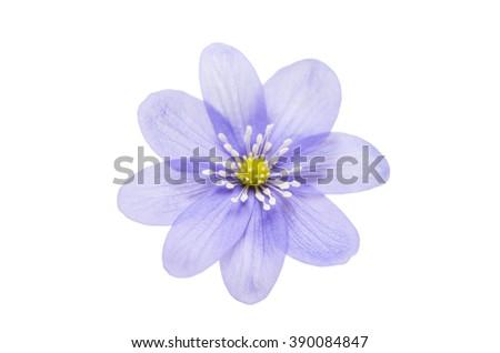 Hepatica nobilis isolated on white background - stock photo