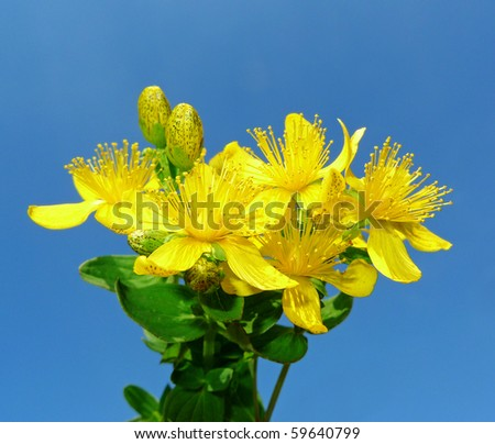 Herb - Klamath weed - common St. John's wort in detail on blue background - stock photo