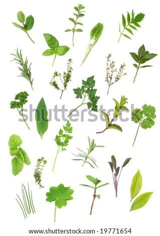 Herb leaf selection of parsley, lavender, sage, bay, mint, oregano, valerian, (vallium substitute) thyme, ladies mantle, spearmint, rosemary; chives, lemon balm; comfrey, basil. Over white background. - stock photo