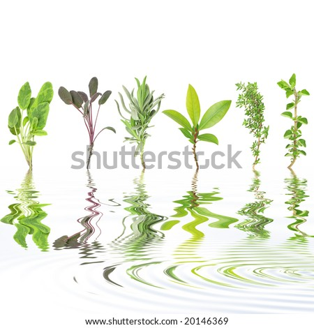 Herb leaf selection of variegated sage, purple sage, lavender, bay, common thyme and oregano with reflection over rippled water, against white background. Left to right. - stock photo