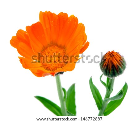 herb marigold calendula officinalis orange flower bloom used as natural folk medicine isolated on white background.  - stock photo