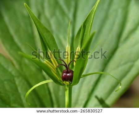 Herb Paris (Paris quadrifolia) - stock photo