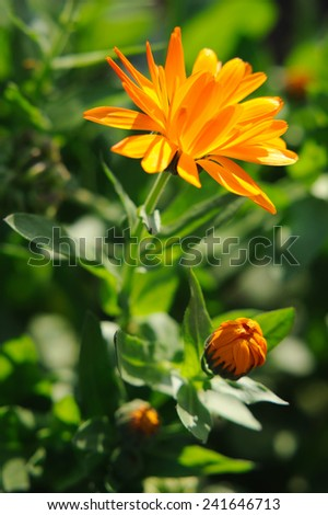 Herbal calendula in the garden - stock photo