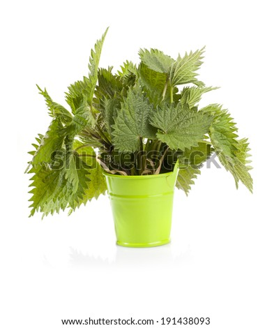 Herbal medicine: Common nettle leaves in small green bucket isolated on white background. Urtica dioica, often called common nettle or stinging nettle. - stock photo
