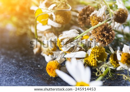 Herbal medicine: Dry medical Chamomile flowers close up on gray stone background - stock photo