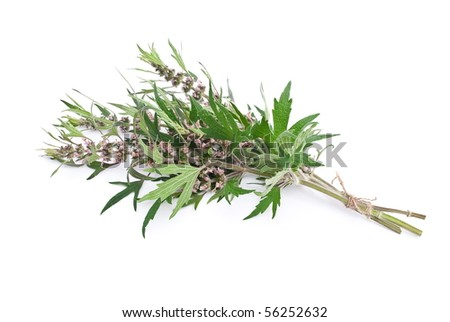 Herbal medicine: Motherwort - stock photo