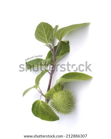 Herbarium : Datura inoxia branch isolated on white - stock photo