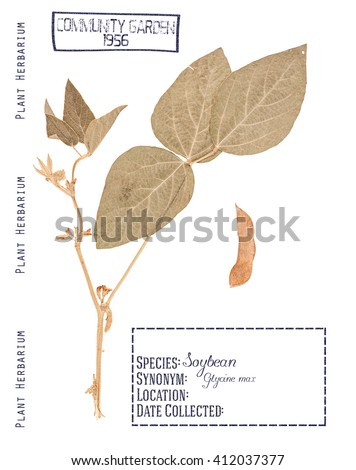 Herbarium pressed plant soybeans. The leaves, stem, flower and pod isolated on white - stock photo