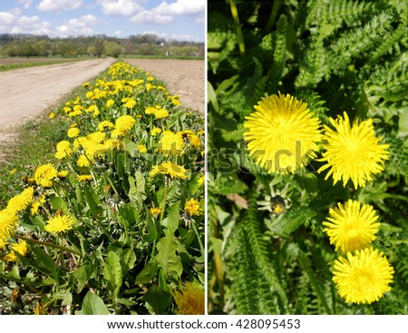 Herbarium series . Collage with dandelion ( Taraxacum Officinale ). Overview and details. - stock photo