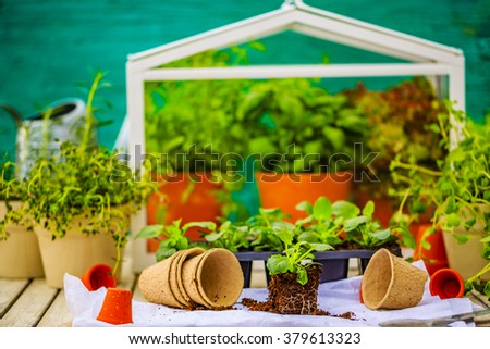 Herbs and plants grown in the greenhouse - stock photo