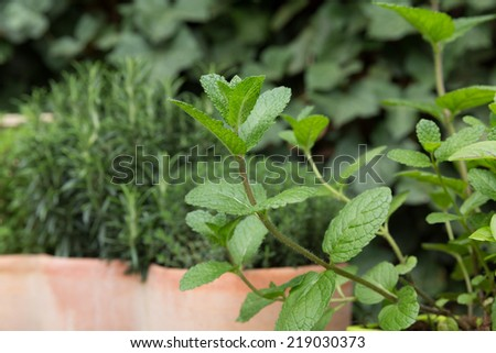 herbs green plants care and shape in the garden - stock photo