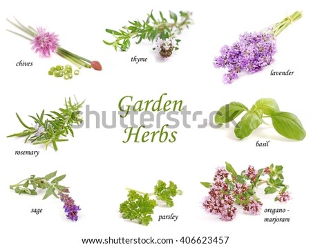 Herbs. Herbs collection on white background. Herbs. Herbs isolated on white. Herbs garden. Herbs.  Healthy herbs. Fresh herbs. Green herbs. Herbs set. Herbs. Herbs card.  - stock photo