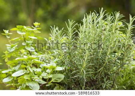 herbs in a garden - stock photo