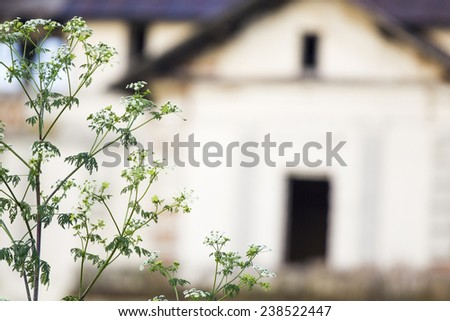 Herbs in the field with old, abandoned house in the background  - stock photo