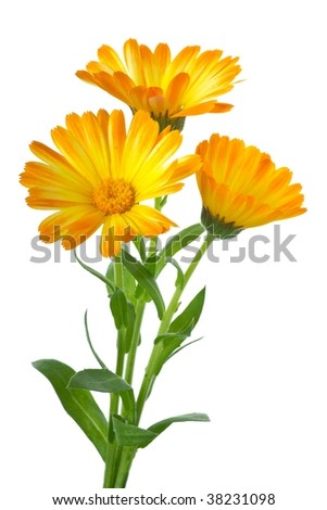 Herbs: Three calendula flowers isolated on the white background - stock photo