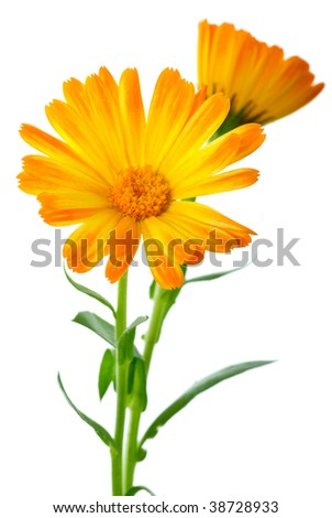 Herbs: Two calendula flowers isolated on the white background/ Shallow DOF. Focused on flower head - stock photo