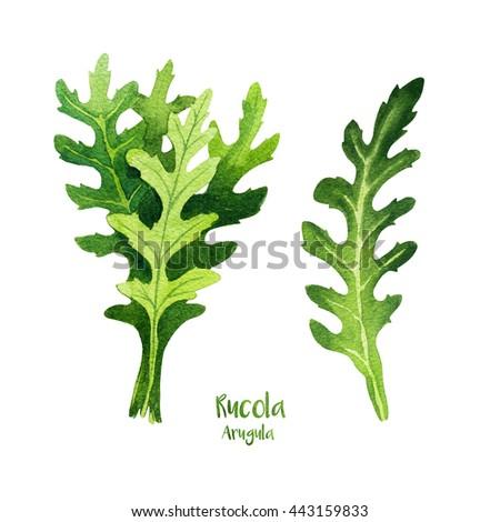 Herbs. Watercolor illustration. Rucola salat (Arugula). - stock photo