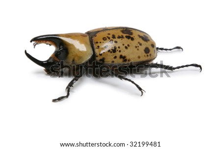 Hercules Rhino Beetle - stock photo