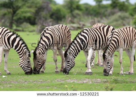 Herd Burchell's zebras feeding with grass. Etosha National Park. Namibia - stock photo