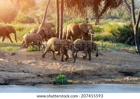 Herd of African elephants drinking at a waterhole lifting their trunks at the same time - stock photo