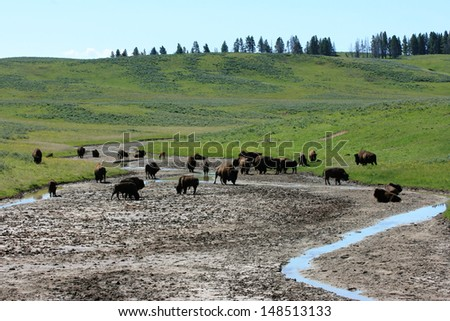 Herd of American bison, Yellowstone National Park, USA - stock photo