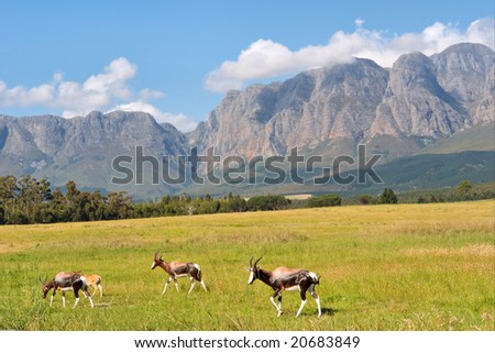 Herd of antelopes against amazing mountains. Shot in Hottentots-Holland Mountains nature reserve, near Somerset West/Cape Town, Western Cape, South Africa. - stock photo