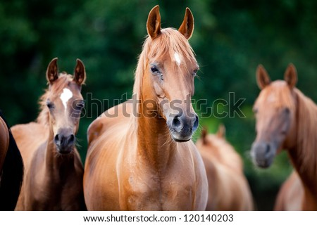 Herd of Arabian horses - stock photo
