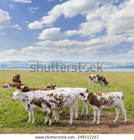 Herd of Ayrshire cows grazing on fresh grass in scenic meadow at Prince Edward Island, Canada. - stock photo