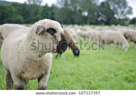 herd of beautiful sheep grazing together on meadow - stock photo
