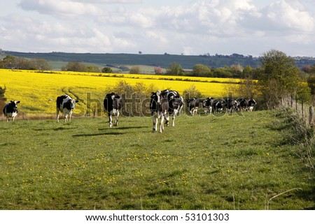 Herd of black and white cows walk into the green pasture - stock photo