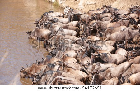 Herd of Blue wildebeest (Connochaetes taurinus) drinking from the river in South Africa - stock photo