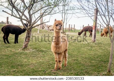 Herd of brown alpacas - stock photo