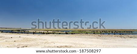 Herd of Buffalo in Chobe River, Chobe National Park, Botswana, Africa - stock photo