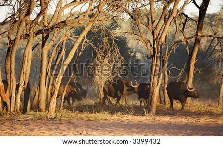 Herd of buffaloes in african savanna, Etosha N.P., Namibia - stock photo
