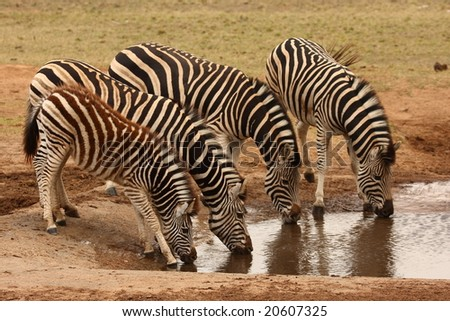 Herd of Burchell Zebra drinking together with a foal. - stock photo