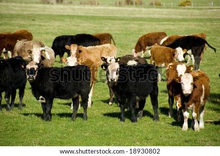 Herd of calves in paddock, Wairarapa, New Zealand - stock photo