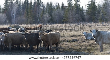 Herd of cattle on a farm, Manitoba, Canada - stock photo