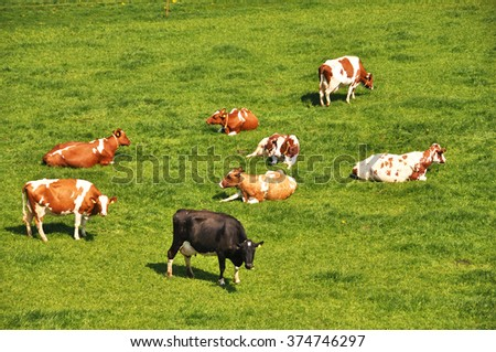 Herd of cattle on a scenic Alpine meadow. - stock photo