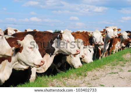 Herd of cows - stock photo