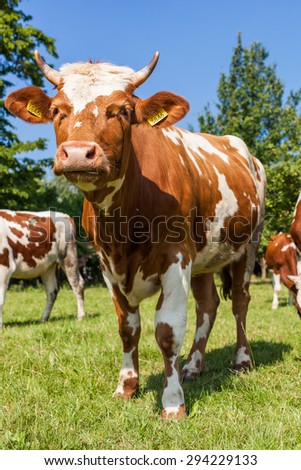 Herd of cows at summer green field in Poland - stock photo