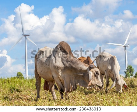 Herd of cows at summer green field in wind farm background, Korat province in Thailand. - stock photo