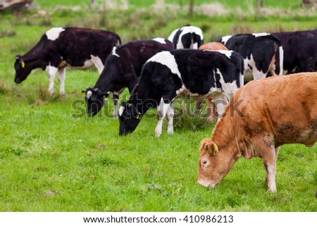 Herd of cows.  Cows on the field - stock photo
