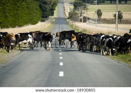 Herd of cows crossing the road in Wairarapa, New Zealand - stock photo