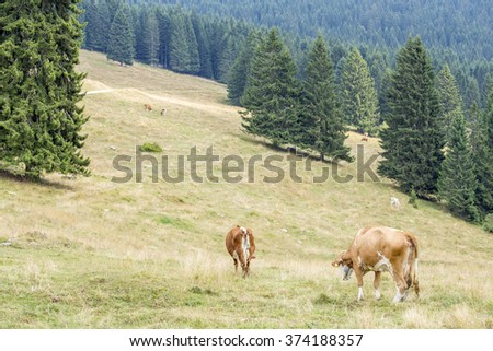 Herd of cows grazing on a mountain pasture surrounded by pine trees, north Italy - stock photo