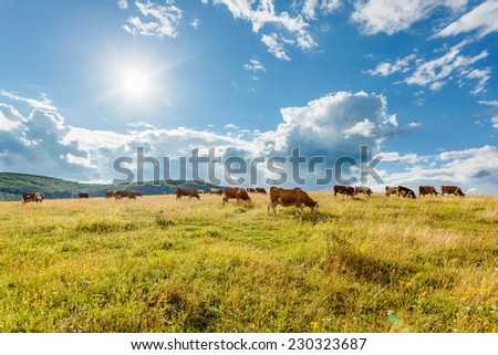 Herd of cows grazing on sunny summer field - stock photo
