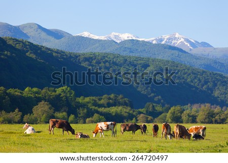 herd of cows is grazed on a summer pasture against snow-covered mountains in a sunny day - stock photo